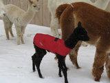 Alpaca Jacket Zwaar Gewicht_