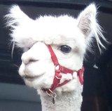 Alpacahalster met gekleurde neusband (set van 4)_